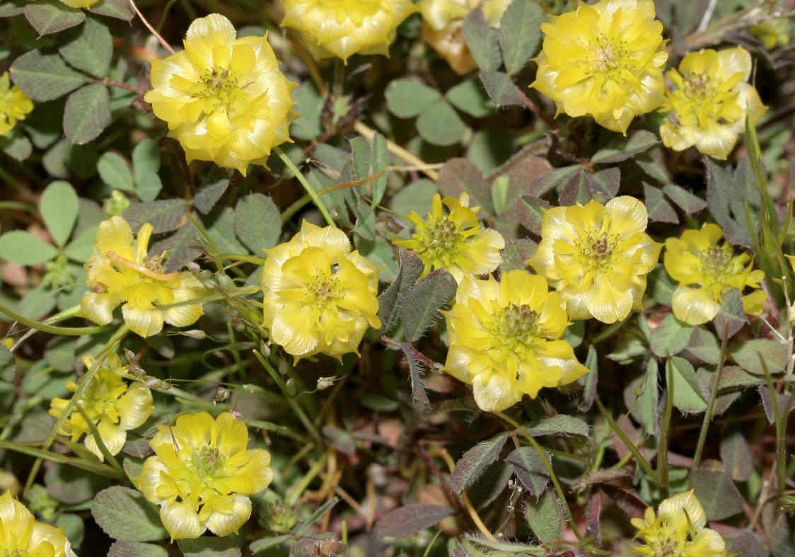 Trifolium campestre - Feldklee -  - Gras- und Felsfluren - grassy and  rocky terrains