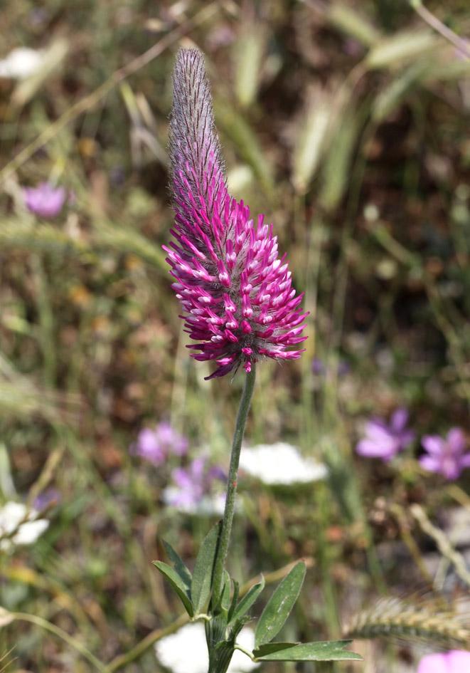 Trifolium purpureum Purpurklee -  - Gras- und Felsfluren - grassy and  rocky terrains