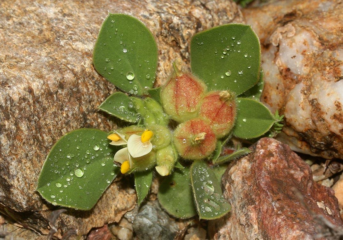 Tripodion tetraphyllum - Blasen-Wundklee -  - Gras- und Felsfluren - grassy and  rocky terrains