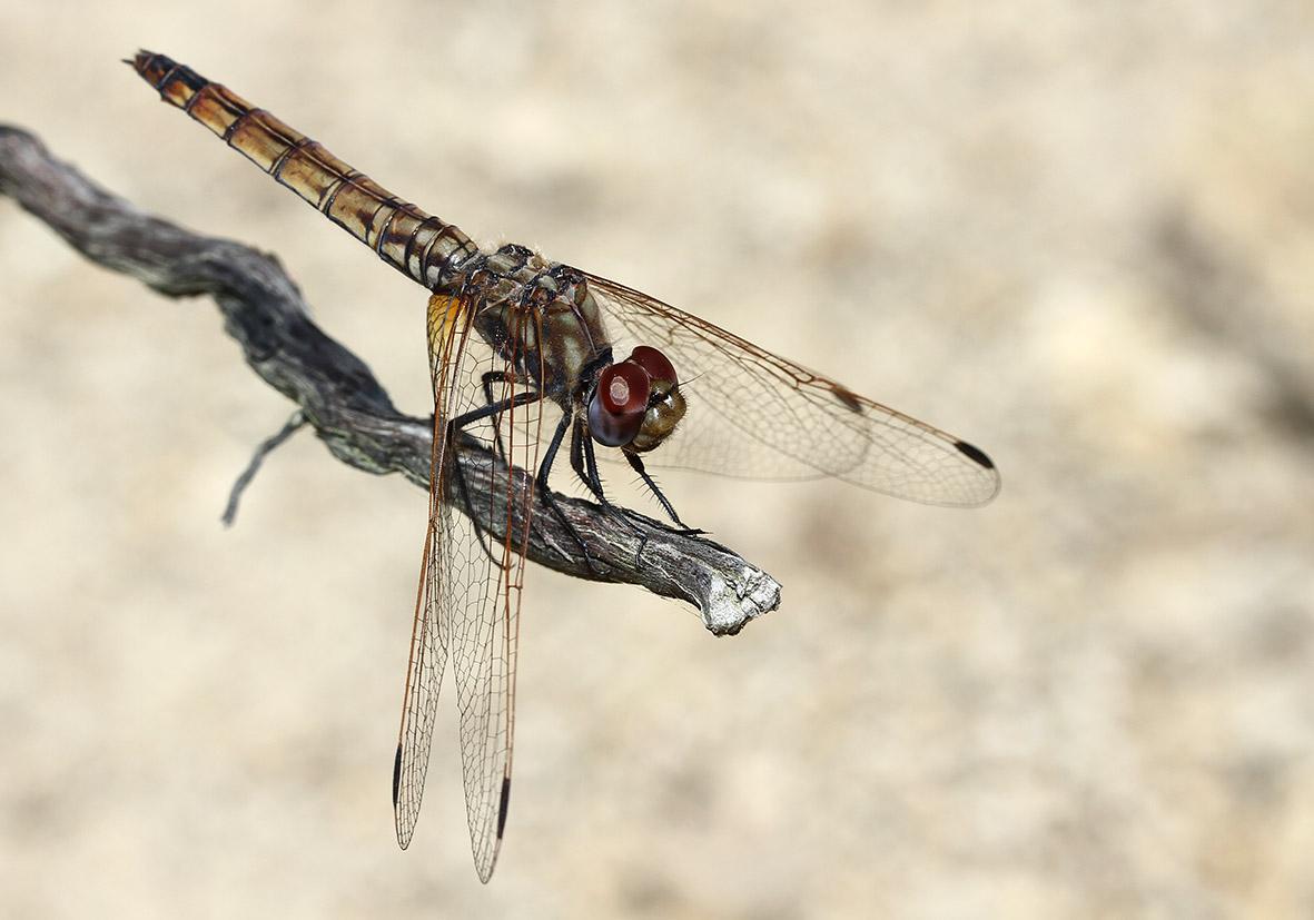 Trithemis annulata - Violetter Sonnenanzeiger  (Weibchen) - Fam. Libellulidae  -  Ikaria - Anisoptera - Großlibellen - dragonflies