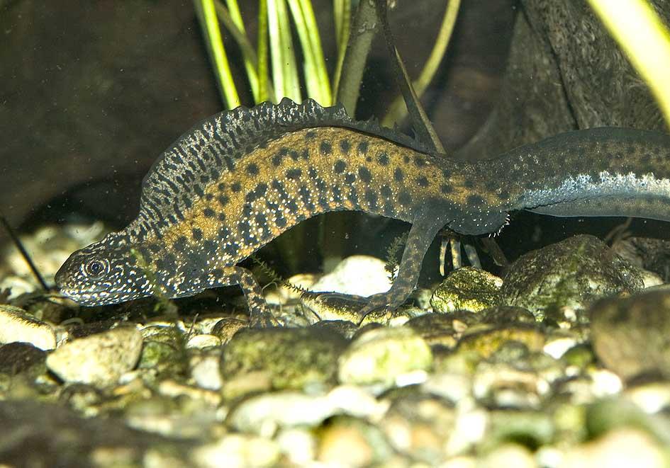 Triturus dobrogicus Donau-Kammmolch -  - Salamandridae - Salamander, Molche - salamanders, newts