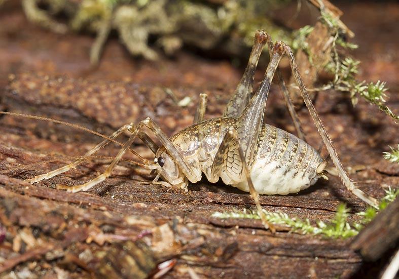 Troglophilus cavicola  - Fam. Rhaphidophoridae  (Höhlenschrecken)  -  Kroatien - Ensifera - weitere Familien - other families