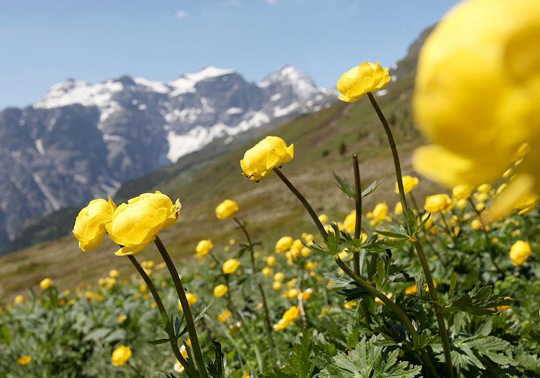 Trollius europaeus - Trollblume - Fam. Ranunculaceae - Alpine Rasen - alpine grassland