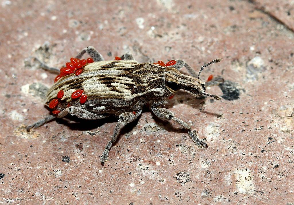 Trombidium - Nymphen - Lesbos - weiter Arachniden - other arachnids