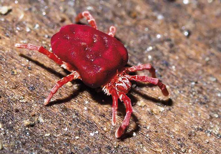 Trombidium holosericeum  - Samtmilbe  - Fam. Trombidiidae - Samtmilben - Acari - Milben - mites