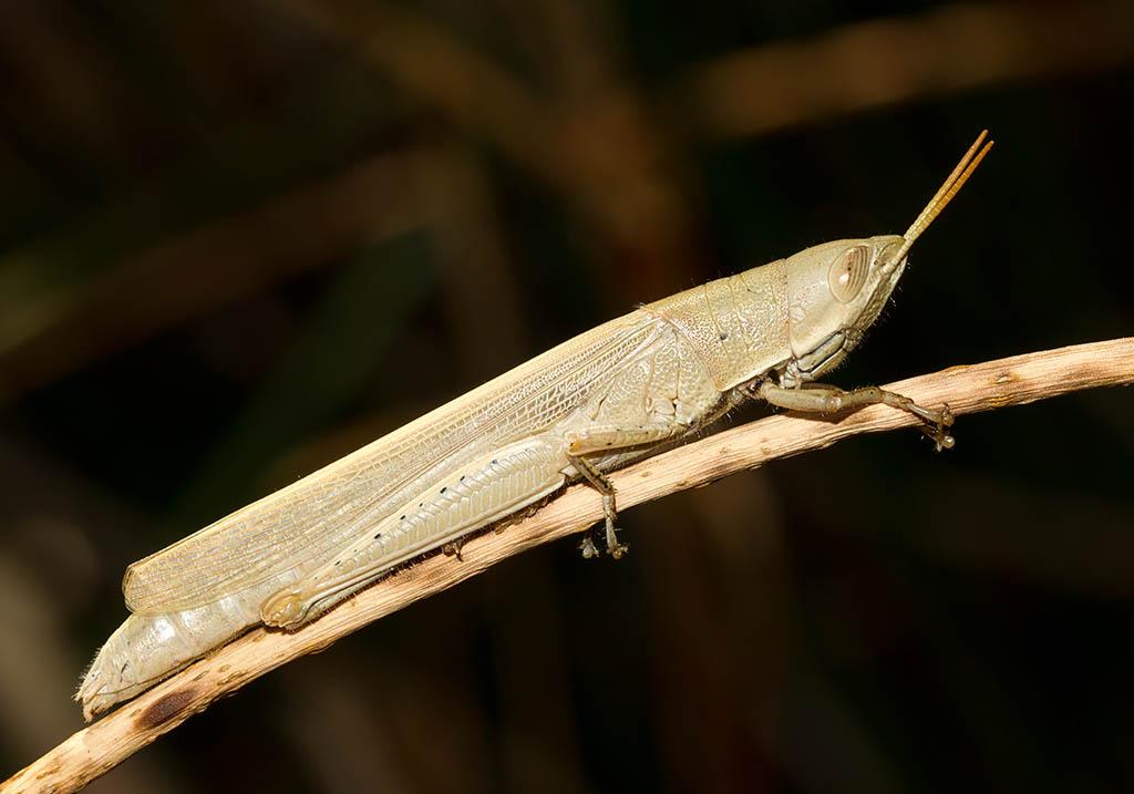 Tropidopola cylindrica - Fam. Acrididae/Tropidopolinae  -  Sardinien - Caelifera - Kurzfühlerschrecken - grasshoppers
