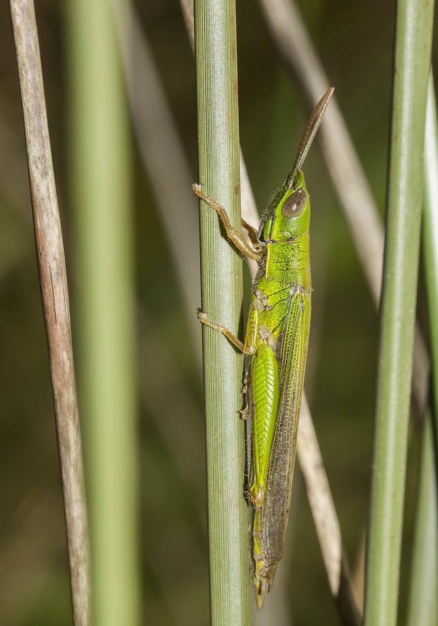 Tropidopola graeca graeca - Fam. Acrididae/Tropidopolinae  -  Epirus Griechenland - Caelifera - Kurzfühlerschrecken - grasshoppers