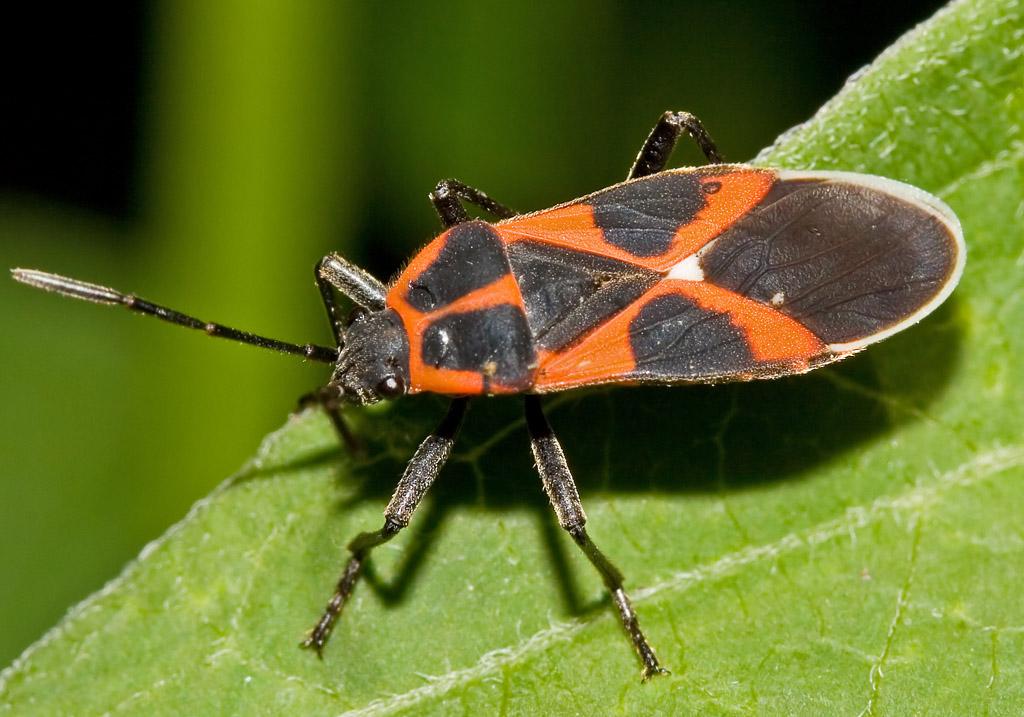 Tropidothorax leucopterus- Schwalbenwurz-Wanze - Fam. Lygaeidae - Bodenwanzen - Heteroptera - Wanzen - true bugs