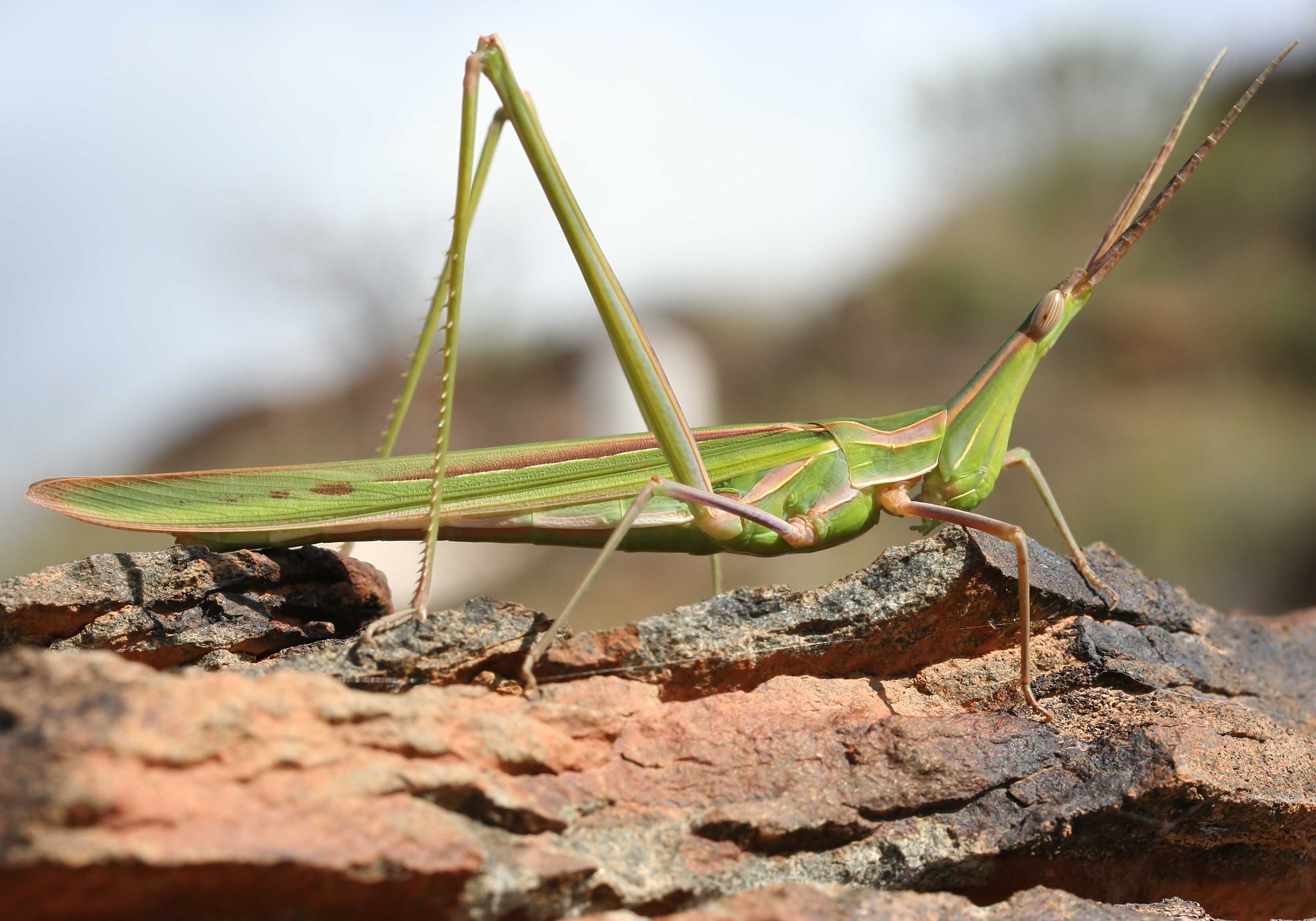 Truxalis nasuta - Nasenschrecke - Fam. Acrididae/Acridinae  -  Gran Canaria - Caelifera - Kurzfühlerschrecken - grasshoppers