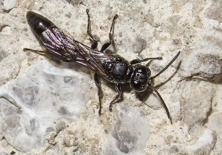 Trypoxylon figulus - Töpfergrabwespe -  - Spheciformes - Grabwespen - thread-waisted wasps