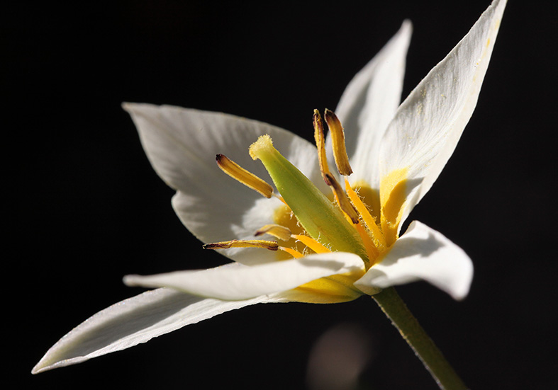 Tulpe -Tulipa -  - Blüten - Flowers