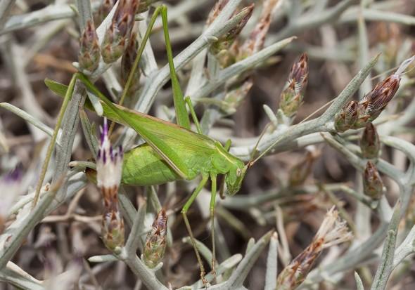 Tylopsis liliifolia - Samos - Ensifera - Phaneropteridae - Sichelschrecken -