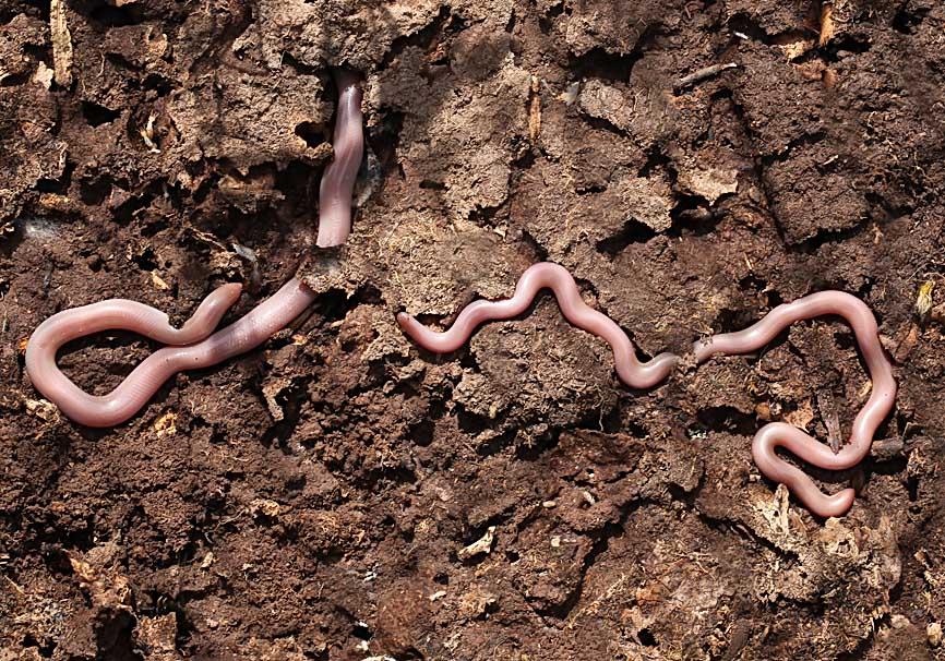 Typhlops vermicularis  -  Wurmschlange - Lesbos - Serpentes - Schlangen - snakes