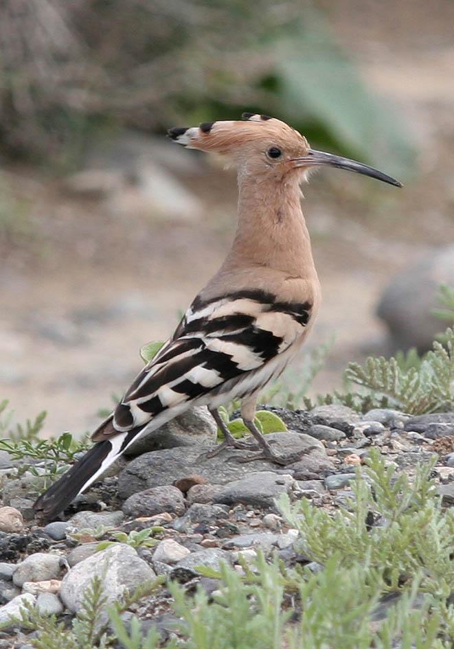 Upupa epops - Wiedehopf -  - Aves - Vögel - birds