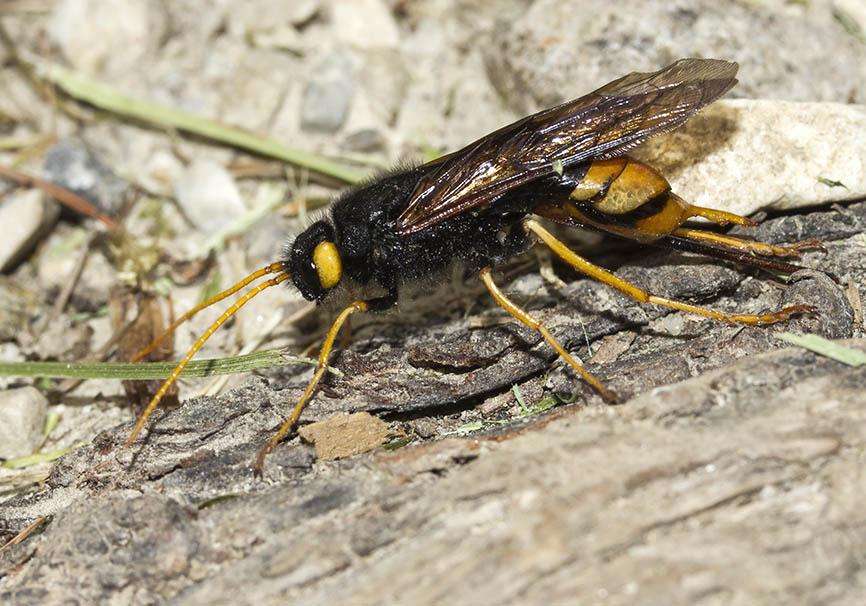 Urocerus gigas - Riesenholzwespe - Fam. Siricidae - Holzwespen - Symphyta - Pflanzenwespen - sawflies