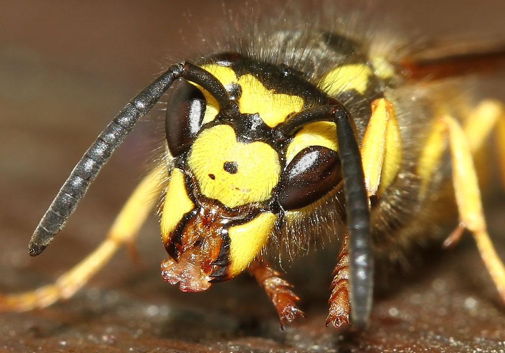 Vespula germanica - Deutsche Wespe -  - Vespidae - Faltenwespen - wasps