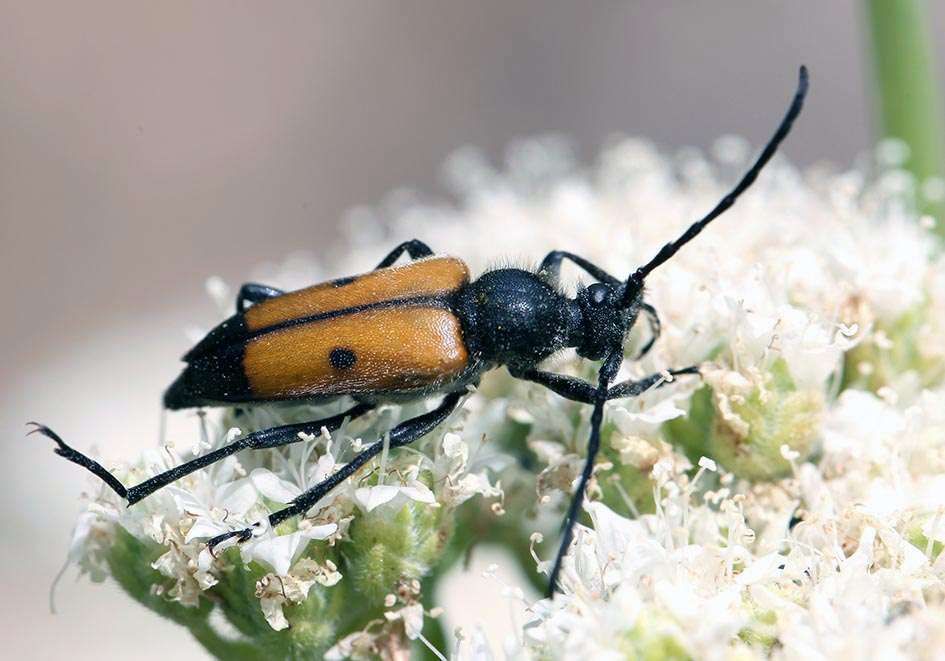 Vadonia bisignata - UFam. Lepturinae   -    Samos - Cerambycidae - Bockkäfer - long-horned beetles