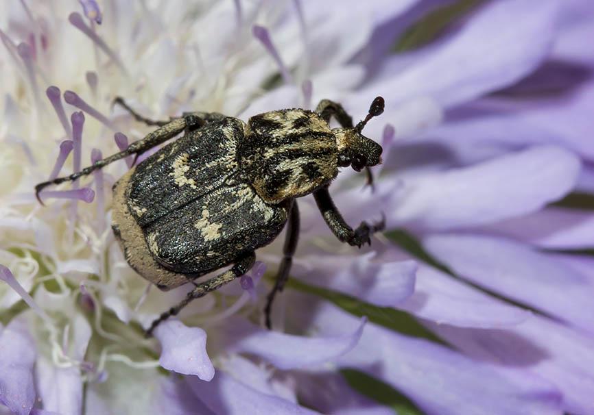 Valgus hemipterus - Stolperkäfer - Fam. Cetoniidae  -   Meteora - Thessalien - Scarabaeidea - Blatthornkäfer - scarab beetles