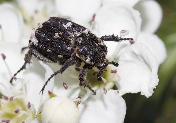 Valgus hemipterus - Stolperkäfer - Fam. Cetoniidae - Scarabaeoidea - Blatthornkäfer - scarab beetles