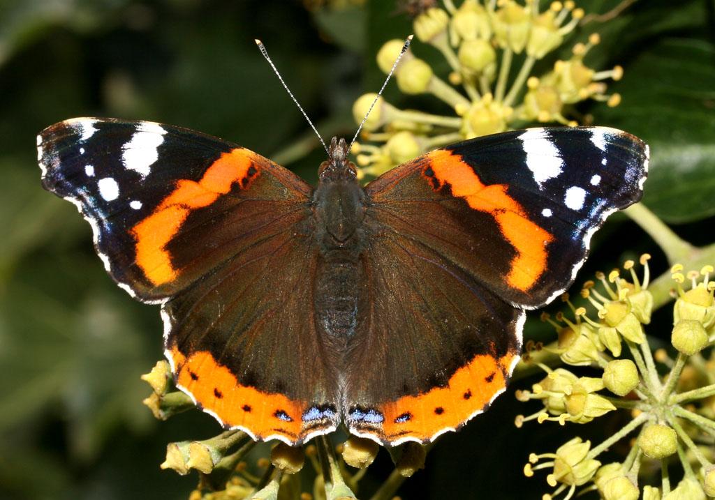 Vanessa atalanta - Admiral  -  - Nymphalidae - Edelfalter - brush-footed butterflies