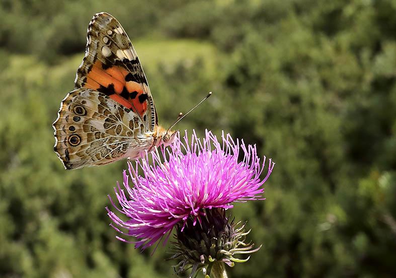 Vanessa cardui - Distelfalter -  - Nymphalidae - Edelfalter - brush-footed butterflies