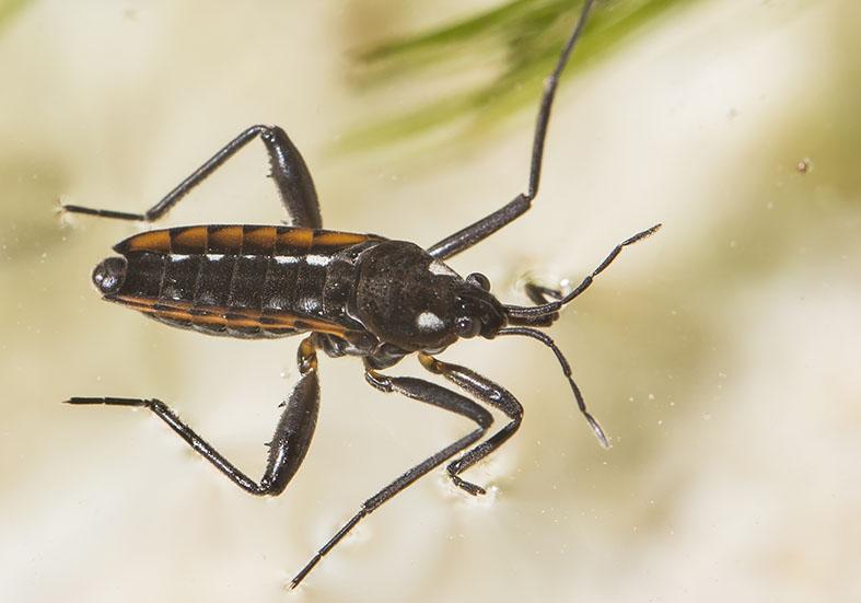 Velia caprai - Bachläufer - Fam. Veliidae - Bachläufer - Heteroptera - Wanzen - true bugs