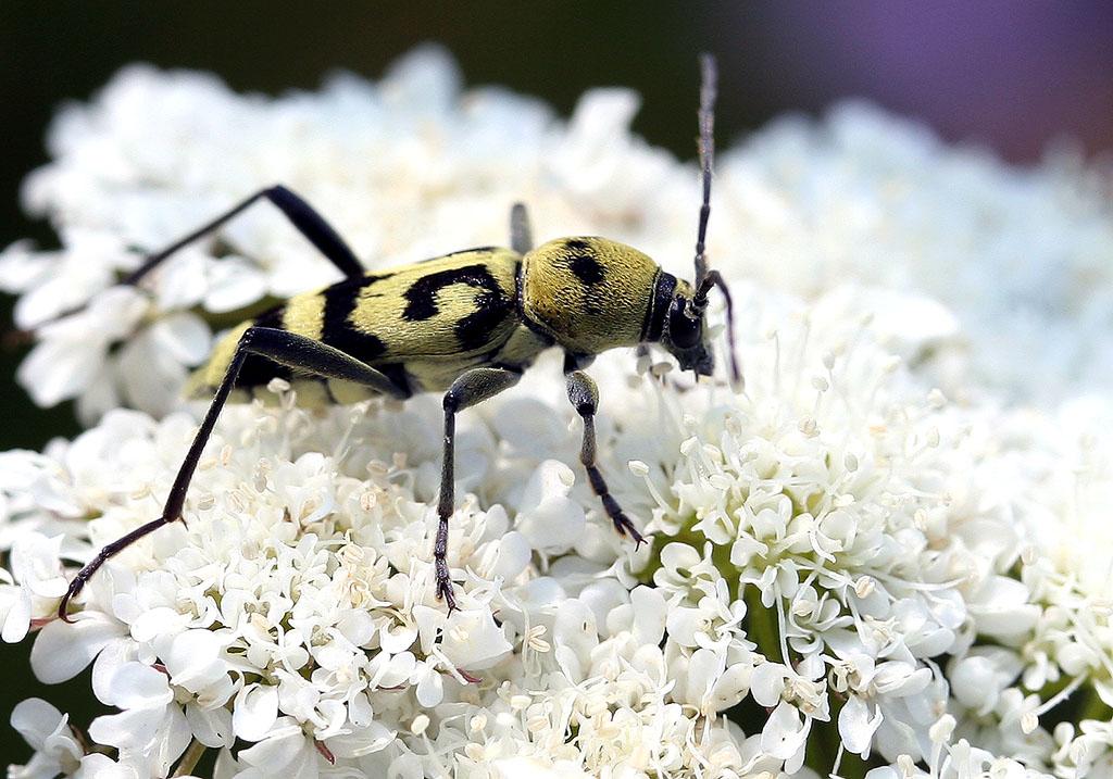 Chlorophorus varius - Veränderlicher Widderbock  - UFam. Cerambycinae  -  Kroatien - Cerambycidae - Bockkäfer - long-horned beetles
