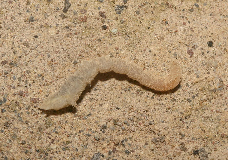 Vermileonidae - Wurmlöwe - Larve (Nisyros) - Diptera - Fliegen