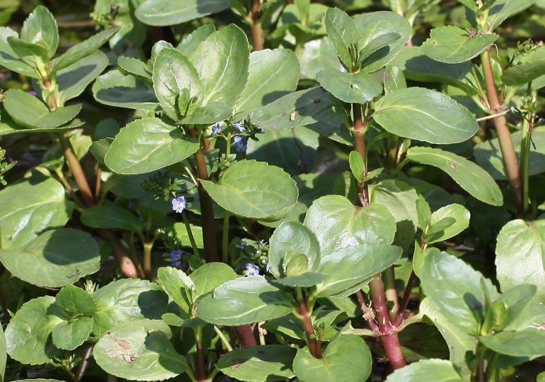 Veronica beccabunga - Bach-Ehrenpreis - Plantaginaceae - Feuchtgebiete - wetlands