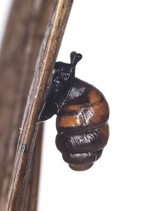 Vertigo geyeri - Vierzähnige Windelschnecke - Fam. Vertiginidae - Windelschnecken - Stylommatophora - Landlungenschnecken - snails, slugs