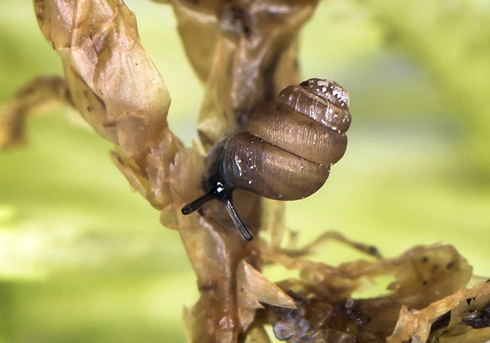 Vertigo substriata - Gestreifte Windelschnecke - Fam. Vertiginidae - Windelschnecken - Stylommatophora - Landlungenschnecken - snails, slugs