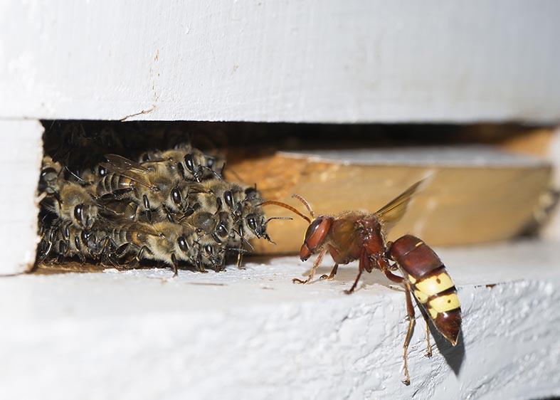 Vespa orientalis  - Apis mellifera - Nisyros - Vespidae - Faltenwespen -wasps
