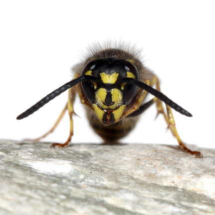 Vespula vulgaris - Gemeine Wespe -  - Vespidae - Faltenwespen - wasps