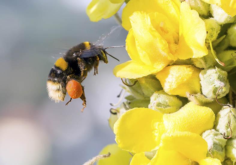 Bombus terrestris - Dunkle Erdhummel - Vibrationssammeln - Apiformes - Apidae - Bienen - Bees