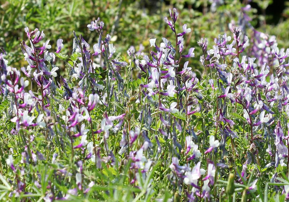 Vicia villosa - Zottelwicke -  - Ruderal vegetation