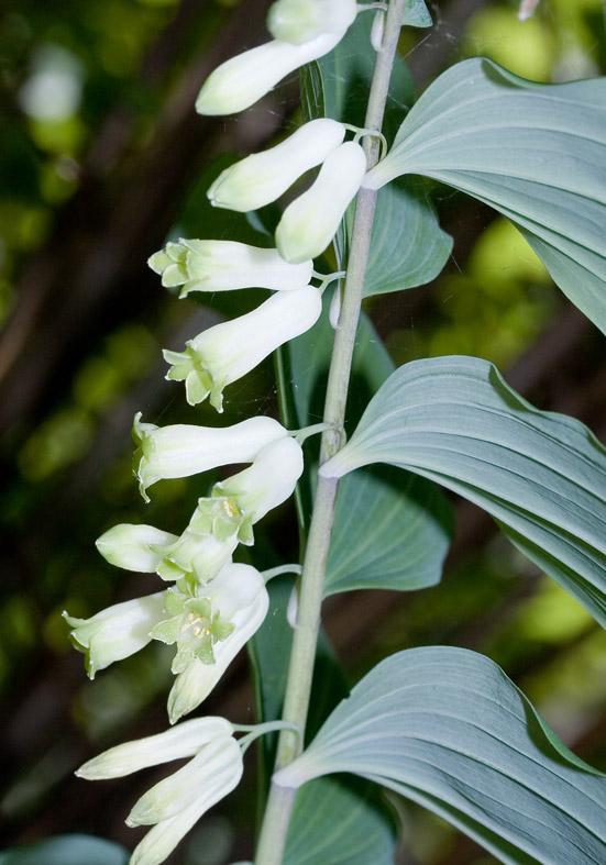 Vielbluetiger S. Polygonatum multiflorum - Fam. Liliaceae - Wald - forest