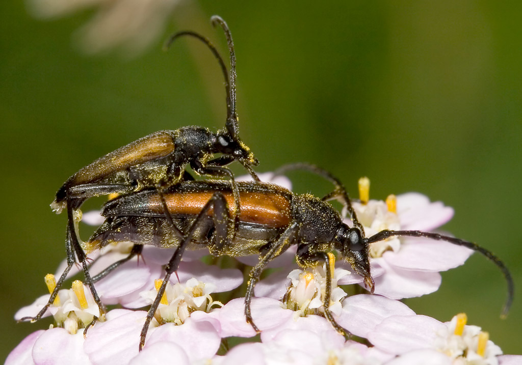 Stenurella melanura  - UFam. Lepturinae - Cerambycidae - Bockkäfer - long-horned beetles