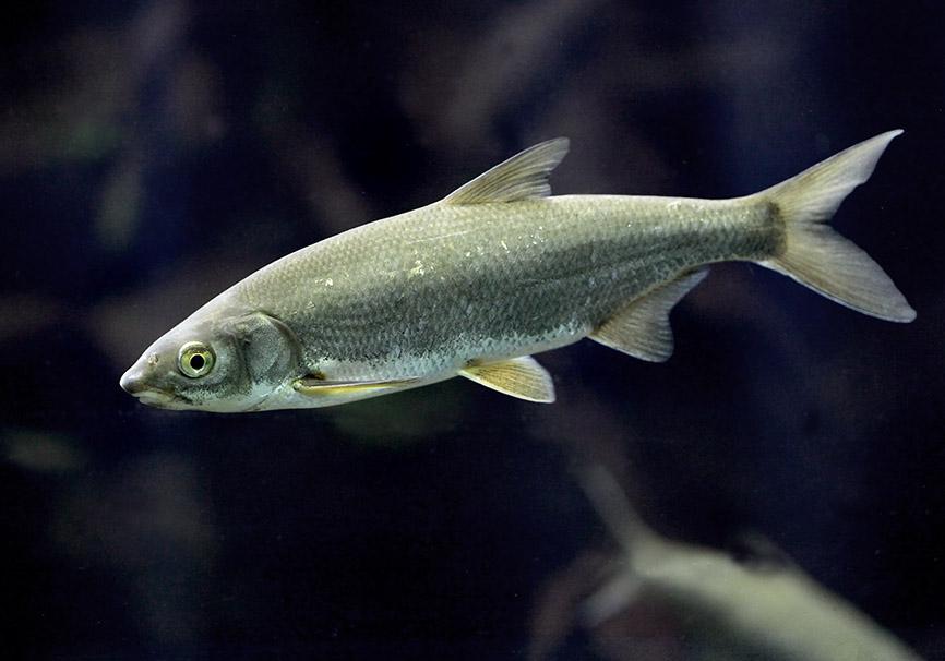 Vimba vimba  (Vimba elongata) - Seerüssling -  - Cypriniformes - Karpfenartige