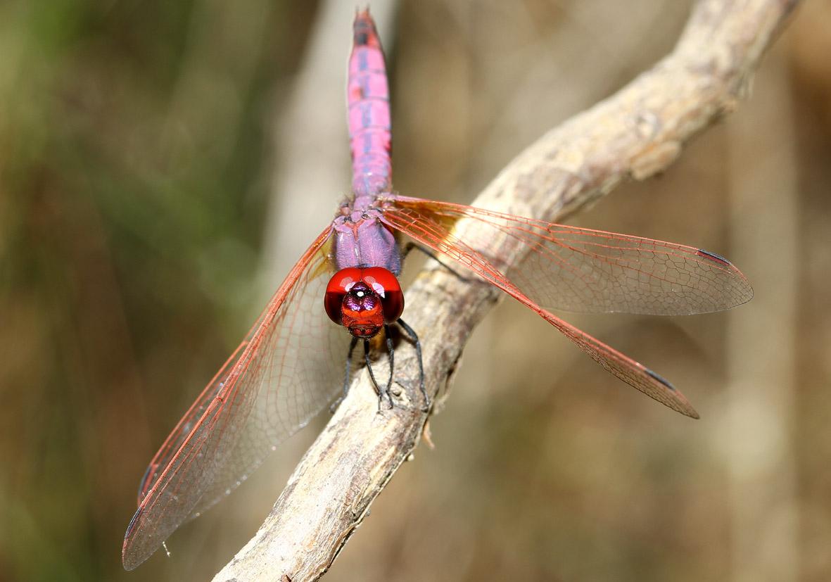 Trithemis annulata - Violetter Sonnenanzeiger - Fam. Libellulidae  -  SAMOS - Anisoptera - Großlibellen - dragonflies