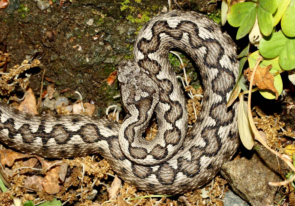 Vipera ammodytes - Hornotter - Andros - Serpentes - Schlangen - snakes