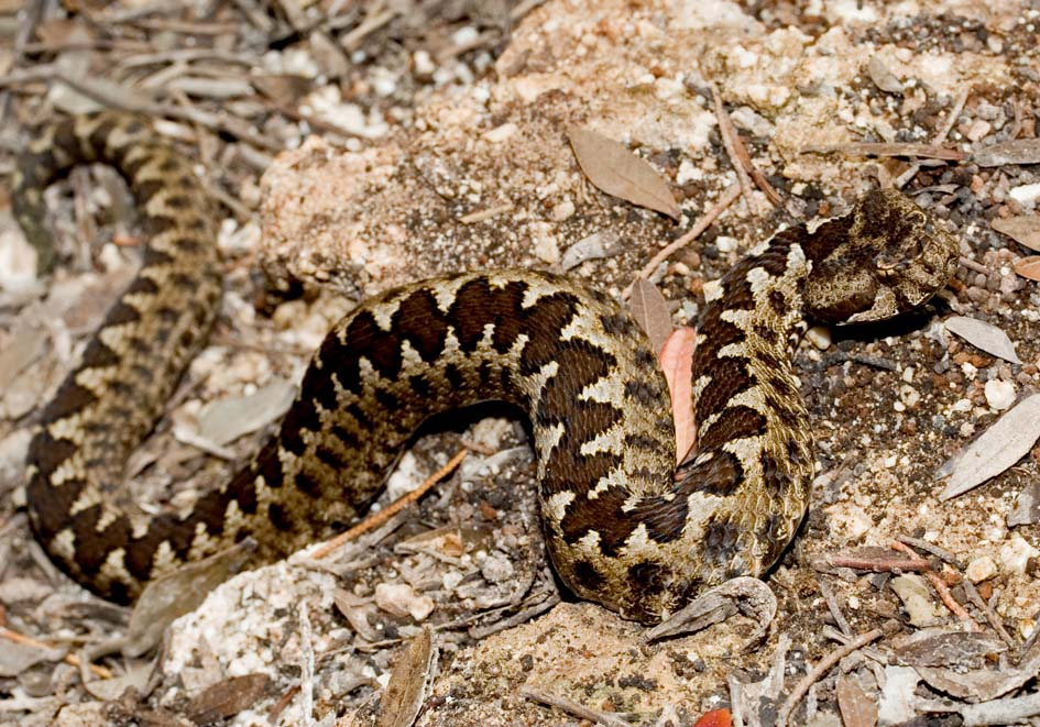 Vipera ammodytes - Hornotter - Lefkas - Serpentes - Schlangen - snakes