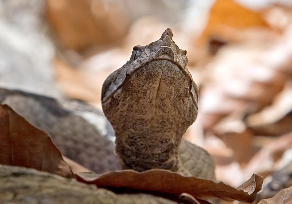 Vipera ammodytes - Hornotter - Alpenzoo - Serpentes - Schlangen - snakes