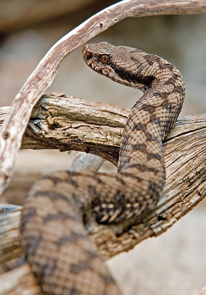 Vipera aspis - Aspisviper - Alpenzoo - Serpentes - Schlangen - snakes