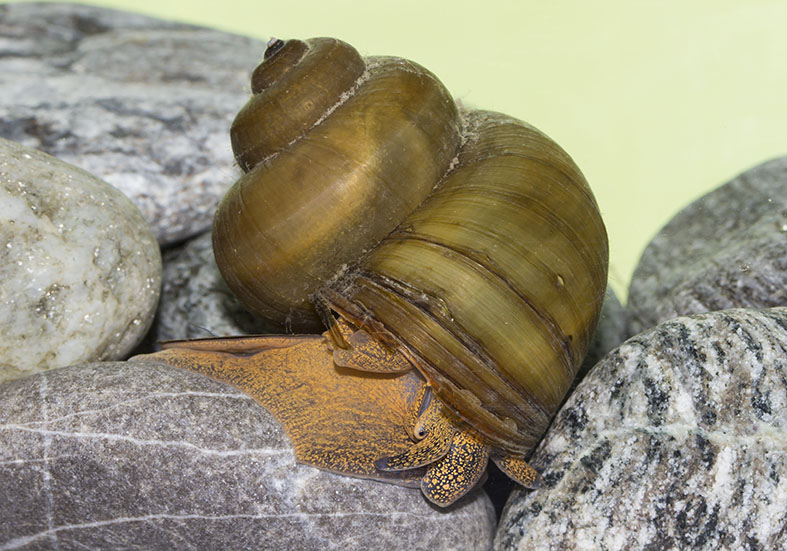 Viviparus sp. - Sumpfdeckelschnecke - Fam. Viparidae - Sumpfdeckelschnecken - Verschiedene Mollusken