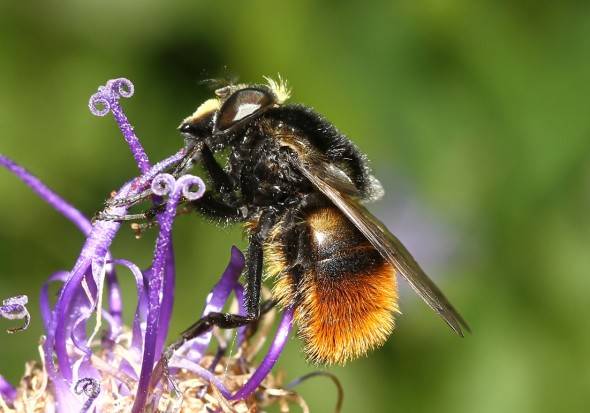 Volucella bombylans - Pelzige Hummel-Schwebfliege - Fam. Syrphidae - Schwebfliegen - Brachycera (Fliegenartige) - Aschiza