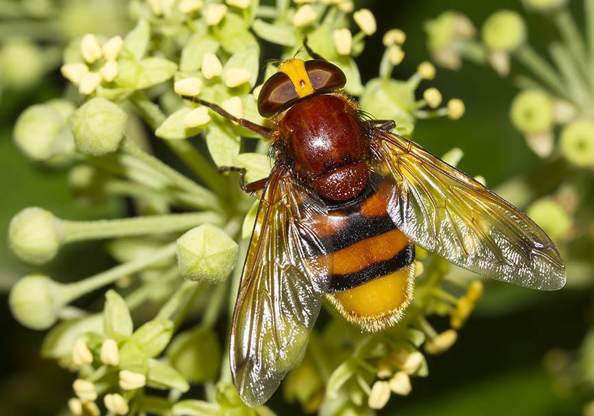 Volucella zonaria - Hornissen-Schwebfliege - Fam. Syrhidae  (Schwebfliegen)   - Naxos - Diptera - Fliegen