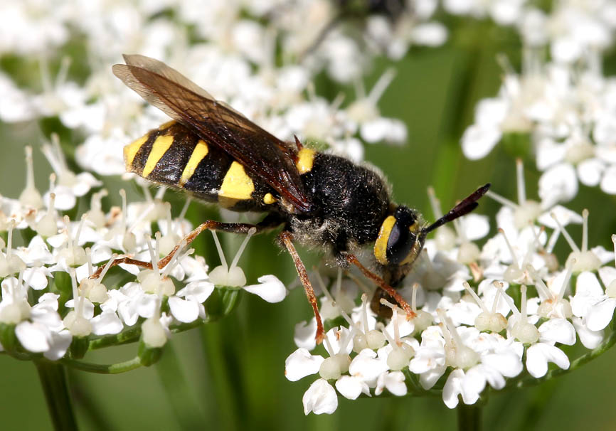 Stratiomys potamida  Gelbband-Waffenfliege  - Fam. Stratiomyidae - Waffenfliegen - Brachycera (Fiegenartige) - Orthorrhapha