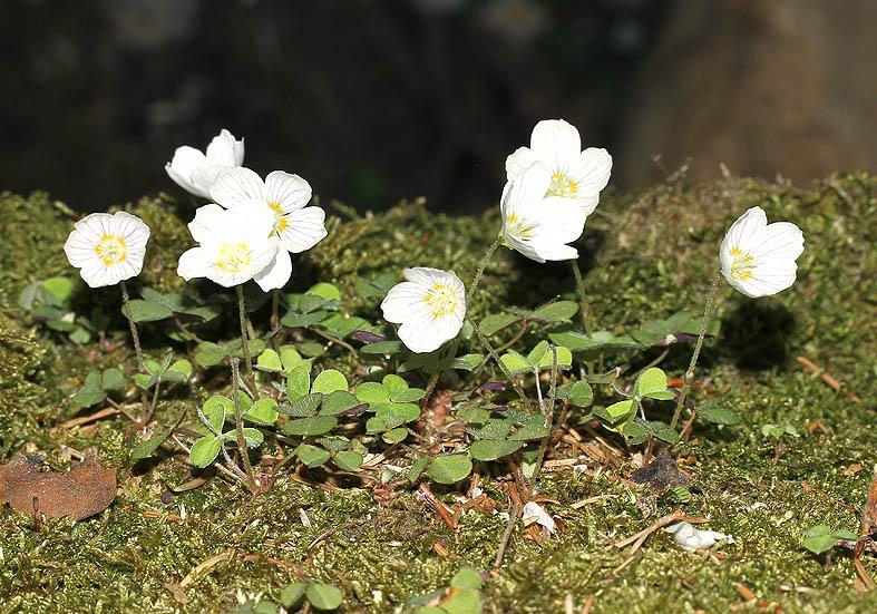 Oxalis acetosella - Wald-Sauerklee  - Fam. Oxalidaceae - Wald - forest