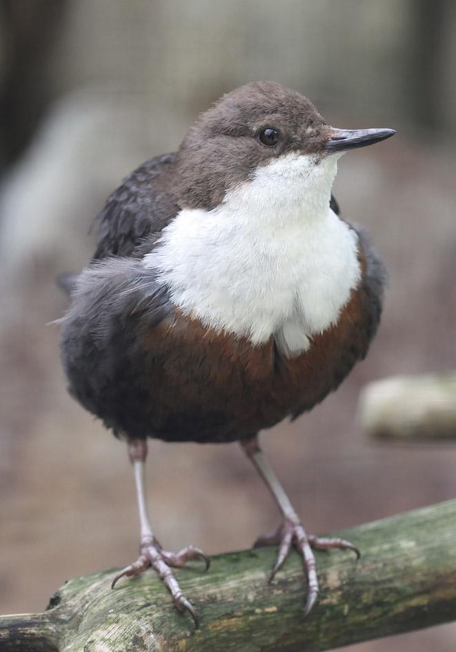 Cinclus cinclus - Wasseramsel -  - Passeres - Singvögel - songbirds