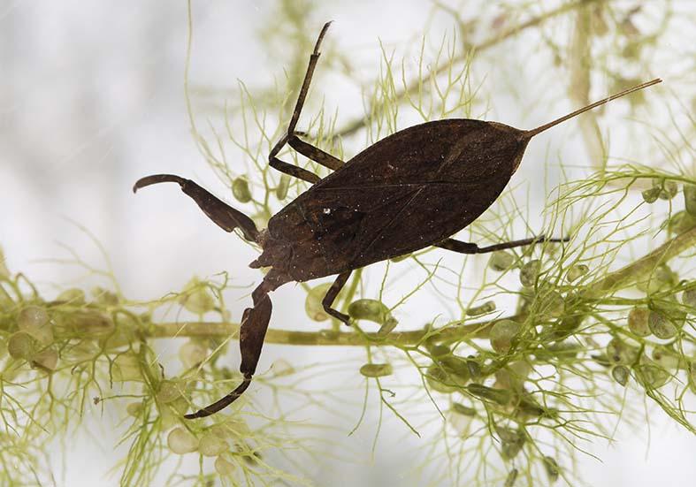 Nepa cinerea - Wasserskorpion - Fam. Neptidae - Skorpionswanzen - Heteroptera - Wanzen - true bugs